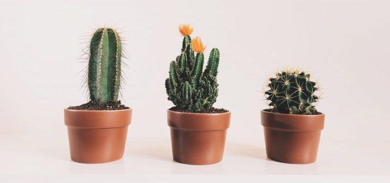 Simbología del cactus