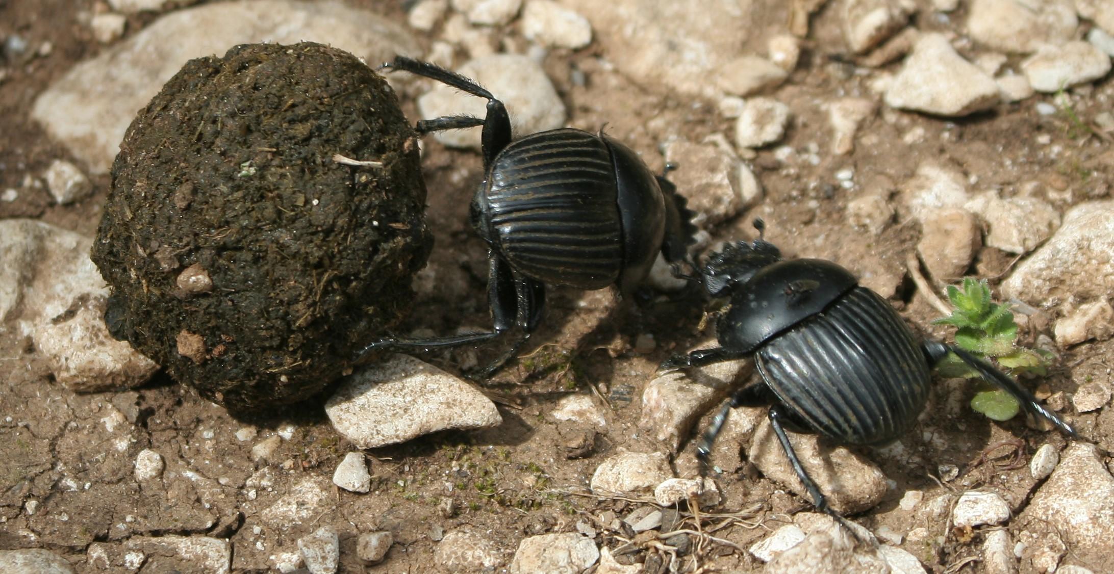 Simbología del escarabajo