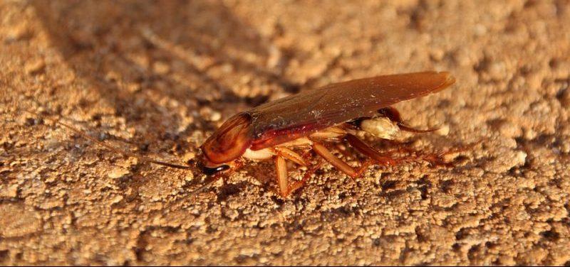 Significado de la cucaracha